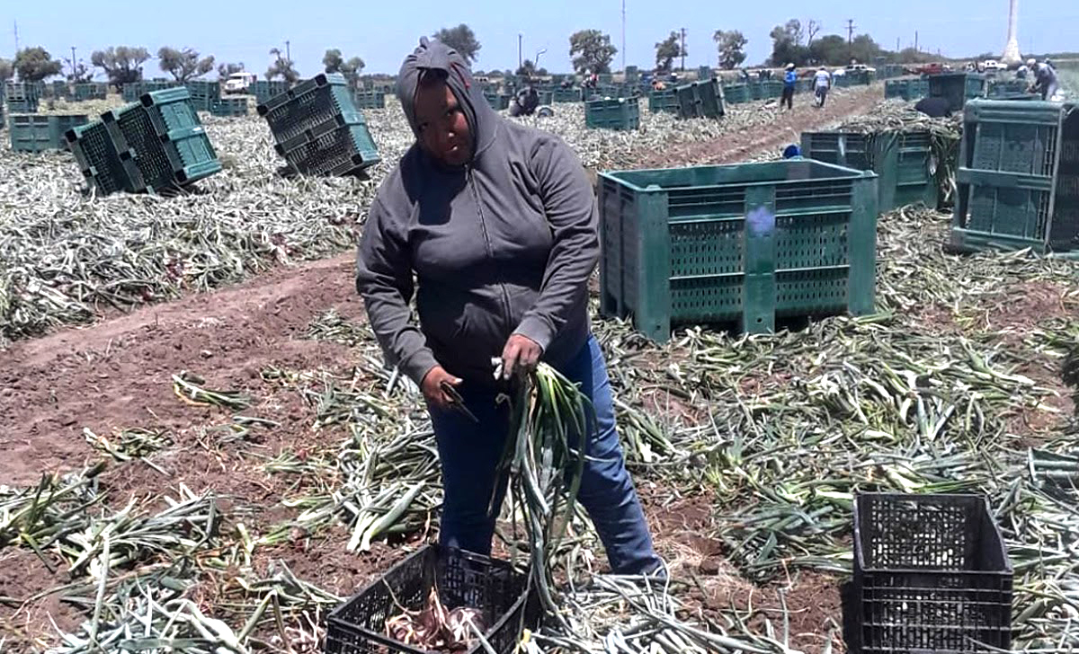 Image: Farmworker Maria in grey hoodie stands with onion stalks in one hand and knife in the other in a field full of cut onion stalks and large green containers.